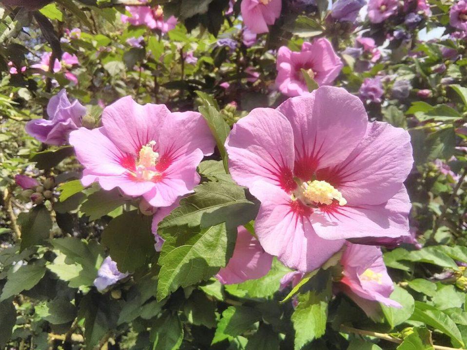 hibiscus syriacus echter rosen eibisch die pflanze der woche von first klaas gartenbau. Black Bedroom Furniture Sets. Home Design Ideas