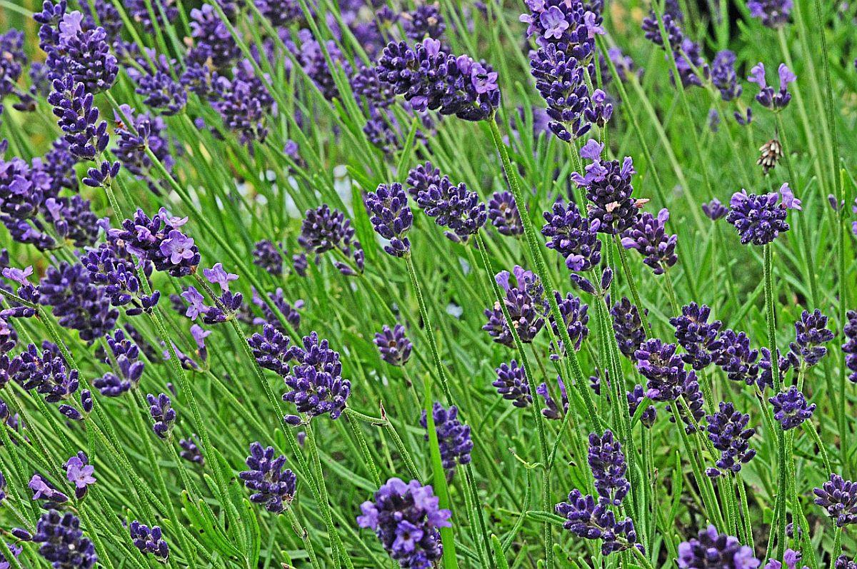 lavandula angustifolia echter lavendel first klaas aus. Black Bedroom Furniture Sets. Home Design Ideas